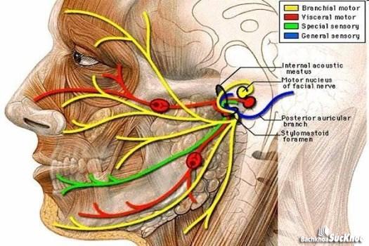 Giải phẫu đường đi dây thần kinh số VII.
