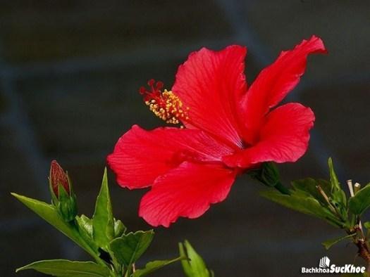 Hoa râm bụt có tác dụng phòng chống các bệnh tim mạch hiệu quả